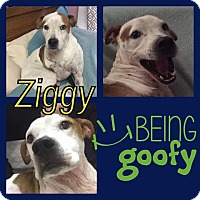 Pit Bull Terrier Mix Dog for adoption in Snyder, Texas - Ziggy