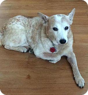Australian Cattle Dog Dog for adoption in Lafayette, Louisiana - Marleaux