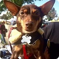 Adopt A Pet :: Donatella (tella) Fursace - Los Angeles, CA