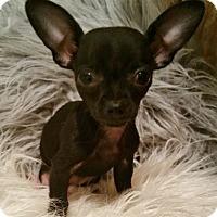 Adopt A Pet :: Daisy-ADOPTION PENDING - Bridgeton, MO