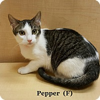 Adopt A Pet :: Pepper - Bentonville, AR