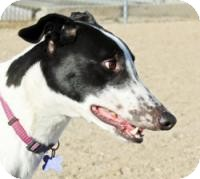 Greyhound Dog for adoption in Tucson, Arizona - River