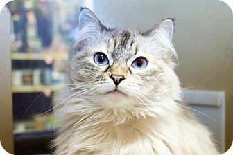 Ragdoll Cat for adoption in Irvine, California - Lola