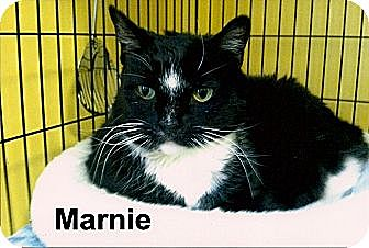 Domestic Shorthair Cat for adoption in Medway, Massachusetts - Marnie