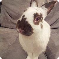 Adopt A Pet :: Paddy Peppercorn - Conshohocken, PA