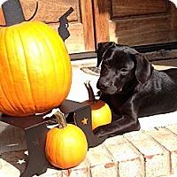 Adopt A Pet :: Porter - Nashville, TN