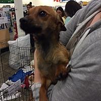 Dachshund/Terrier (Unknown Type, Medium) Mix Dog for adoption in Fresno, California - Price