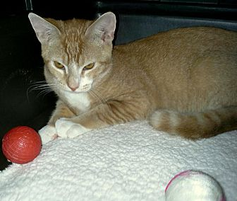 Domestic Shorthair Cat for adoption in Berkeley Hts, New Jersey - Clinton