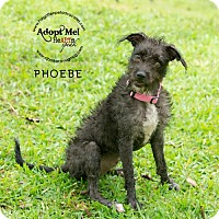 Chinese Crested/Miniature Schnauzer Mix Dog for adoption in Pearland, Texas - Phoebe