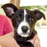 Adopt A Pet :: Roxy Lynn - Yardley, PA