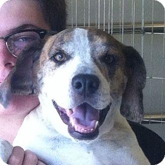 Beagle Mix Dog for adoption in Las Vegas, Nevada - Deuce