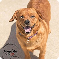 Chihuahua/Dachshund Mix Dog for adoption in Belton, Missouri - Scooby