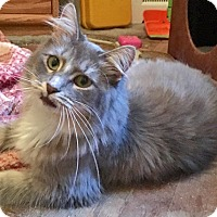 Adopt A Pet :: Gracie, Gorgeous Maine Coon Mix - Brooklyn, NY