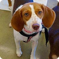 Adopt A Pet :: Sadie - Rexford, NY