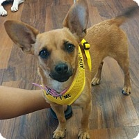 Chihuahua/Jack Russell Terrier Mix Dog for adoption in Wilmington, Delaware - Luna