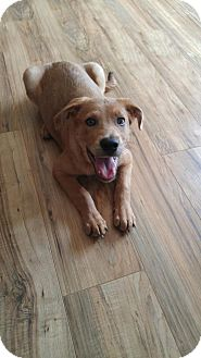 Labrador Retriever/Shepherd (Unknown Type) Mix Dog for adoption in West Chester, Ohio - Blue