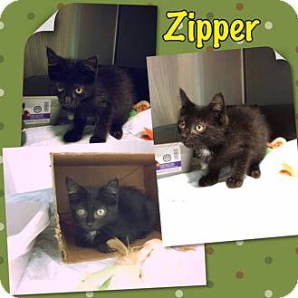 Domestic Mediumhair Kitten for adoption in Elmhurst, New York - Zipper