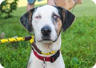 Catahoula Leopard Dog/Labrador Retriever Mix Puppy for adoption in Berkeley Heights, New Jersey - Gordon