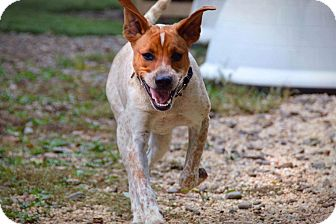 Cattle Dog Mix Dog for adoption in Breinigsville, Pennsylvania - Hazel **in a foster home**