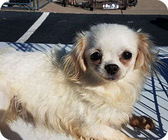 Maltese/Chihuahua Mix Dog for adoption in Hopkinsville, Kentucky - Lucy