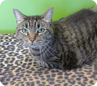 Domestic Shorthair Cat for adoption in Westampton, New Jersey - Amber 33627967