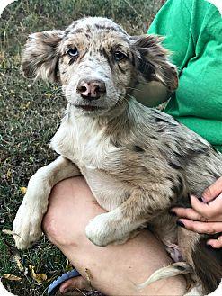 Anatolian Shepherd Mix Puppy for adoption in Starkville, Mississippi - Hobart