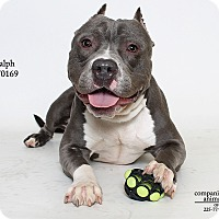 American Staffordshire Terrier Mix Dog for adoption in Baton Rouge, Louisiana - Ralph  (Foster Care)