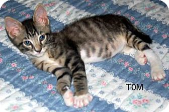 Domestic Shorthair Kitten for adoption in Winter Haven, Florida - Tom