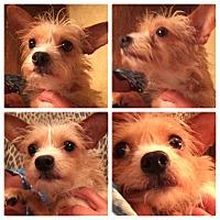 Adopt A Pet :: Cookie - Edmond, OK