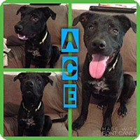 Adopt A Pet :: Ace in CT - Manchester, CT