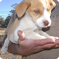 Adopt A Pet :: HOLIDAY PUPS B - Corona, CA