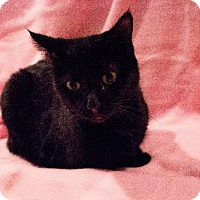 Domestic Shorthair Cat for adoption in Port Clinton, Ohio - Hannah