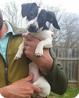 Terrier (Unknown Type, Small) Mix Puppy for adoption in Westport, Connecticut - Rosie-9 pounds