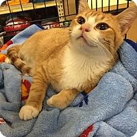 Adopt A Pet :: Louie - Rochester, MN