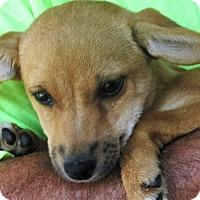 Adopt A Pet :: Sugar - Germantown, MD