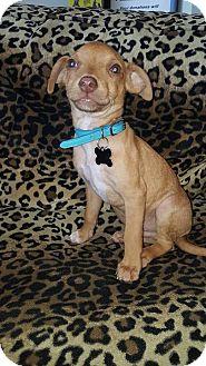 Chihuahua Mix Puppy for adoption in Valencia, California - Sebatian