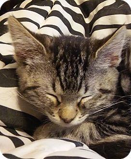 Domestic Shorthair Kitten for adoption in Meridian, Idaho - Firecracker