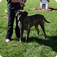 Mastiff Mix Dog for adoption in North Judson, Indiana - Buck