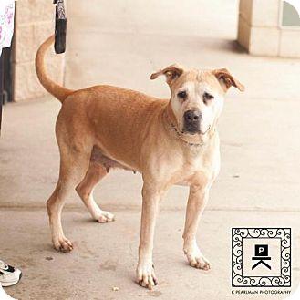 American Pit Bull Terrier/Labrador Retriever Mix Dog for adoption in Fredericksburg, Virginia - Spotsylvania Shelter #16-4082 'Zoie'