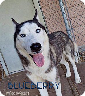 Siberian Husky Dog for adoption in Carrollton, Texas - Blueberry--Coming soon!
