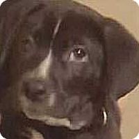 Adopt A Pet :: Pete Wrightsville - Boston, MA