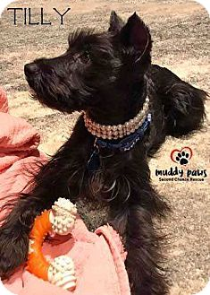 Schnauzer (Miniature) Dog for adoption in Council Bluffs, Iowa - Tilly