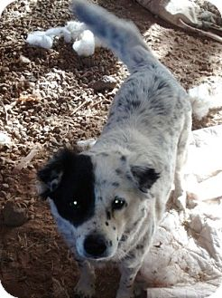 Border Collie/Australian Cattle Dog Mix Dog for adoption in Scottsdale, Arizona - Fig