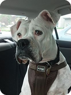 Boxer Dog for adoption in North Haven, Connecticut - Arianna