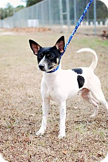 Jack Russell Terrier Dog for adoption in Crawfordville, Florida - Chevy
