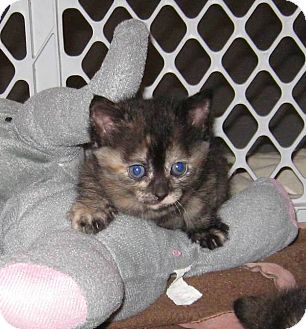 Domestic Shorthair Kitten for adoption in Geneseo, Illinois - Scarlett