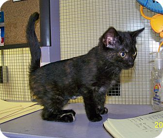 Domestic Shorthair Kitten for adoption in Dover, Ohio - Lela