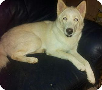 Husky Mix Dog for adoption in Fort Lauderdale, Florida - Khaleesi