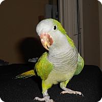 Adopt A Pet :: Charlie Special Quaker - Vancouver, WA