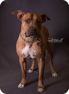 Mastiff/Pit Bull Terrier Mix Dog for adoption in Foristell, Missouri - Scooby